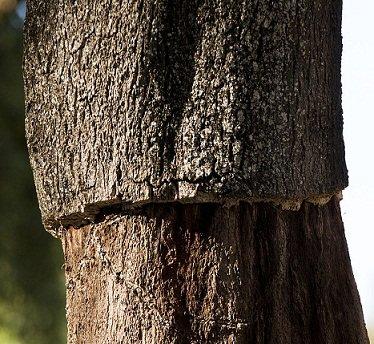 chêne liuge