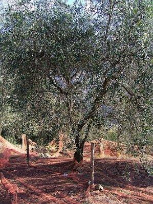 olivier 1
