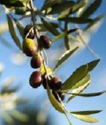 olive-olivier