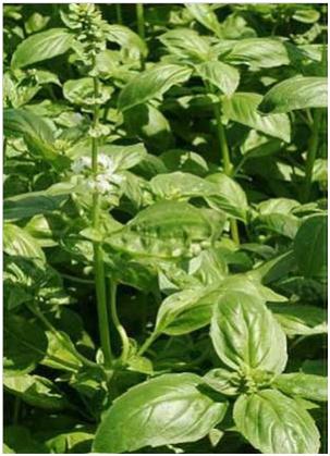 Le basilic ou l herbe royale en quete du vivant - Ou planter le basilic ...