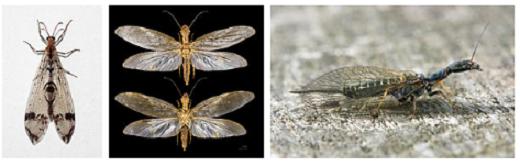 Insectes francesca