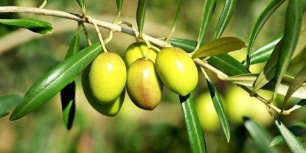 olivier au soleil
