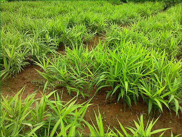 1 plantation