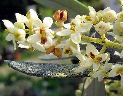 olivier à fleurs